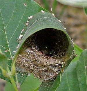 Common tailorbird - Nest in India