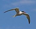Common Tern 1 (5974229104).jpg