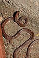Common Wolf Snake Lycodon aulicus by Dr. Raju Kasambe DSCN7762 (20).jpg