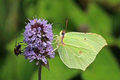 Common brimstone butterfly (Gonepteryx rhamni) male 5