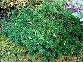 Common haircap moss (Polytrichum commune) - geograph.org.uk - 952013.jpg