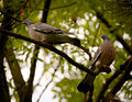 Common wood pigeon (17604190864).jpg