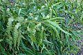 Comptonia peregrina kz2.jpg