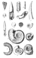 Conchological Manual Plate 22.png