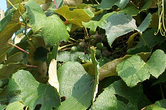 Grape Island (Massachusetts) - Concord grapes growing on Grape Island