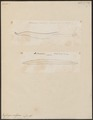Conger vulgaris - larve - 1700-1880 - Print - Iconographia Zoologica - Special Collections University of Amsterdam - UBA01 IZ15200024.tif