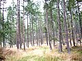 Coniferous forest - geograph.org.uk - 965016.jpg