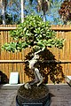 Conocarpus erectus - Marie Selby Botanical Gardens - Sarasota, Florida - DSC01067.jpg