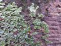 Conocephalum salebrosum (Great Scented Snakewort).JPG