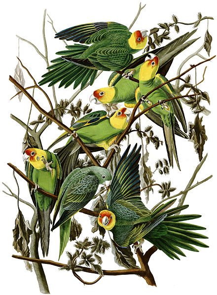 The Carolina parakeet was hunted to extinction. Conuropsis carolinensisAWP026AA2.jpg