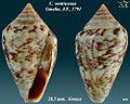 Conus ventricosus 1.jpg