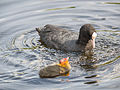 Coot with young (14193912568).jpg