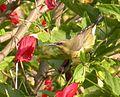 Copper sunbird.jpg