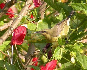 Copper sunbird - Female