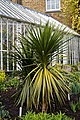 Cordyline australis cabbage tree at Myddelton House, Enfield, London.jpg