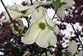 Cornus florida Cherokee Princess 6zz.jpg