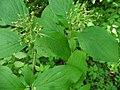 Cornus sanguinea 138561471.jpg