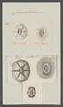 Coronula testudinaria - - Print - Iconographia Zoologica - Special Collections University of Amsterdam - UBAINV0274 101 02 0038.tif