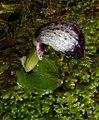 Corybas cheesemanii.jpg