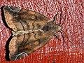 Cosmia pyralina - Lunar-spotted pinion - Вязовая совка бурая (40410439814).jpg