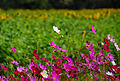 Cosmos flowers in Thailand 01.jpg