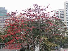 Cotton tree with only flowers in spring