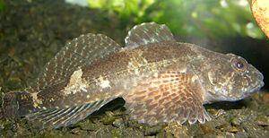 Groppen wikipedia for Heimische fische