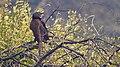 Coucal at Keoladeo National Park.jpg
