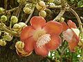 Couroupita guianensis (arbre aux boulets de canon) - 877 - Inflorescence.JPG