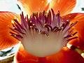 Couroupita guianensis .jpg