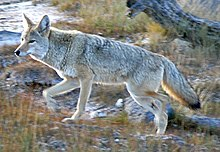 http://upload.wikimedia.org/wikipedia/commons/thumb/b/bb/Coyote_Yellowstone_%28cropped%29.jpg/220px-Coyote_Yellowstone_%28cropped%29.jpg