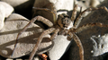 Creekside spider (5788618563).png