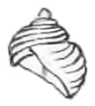 Cremnoconchus syhadrensis shell 2.png