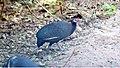Crested Guineafowl (Guttera pucherani) (46494215022).jpg