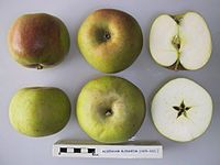 Cross section of Aldenham Blenheim, National Fruit Collection (acc. 1929-032).jpg
