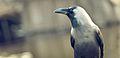 Crow By Anis Shaikh 17.jpg