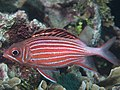 Crown squirrelfish (Sargocentron diadema) (48776346643).jpg
