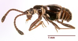 Ctenisodes sp 150677 lateral.tif