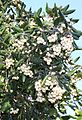 Curtisia assegai tree - South Africa.jpg