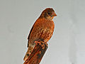 Cut-throat Finch SMTC2.jpg