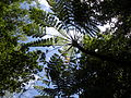 Cyathea mertensiana (Kunze) Copel in Bonin Islands.jpg
