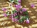Cyclamen persicum (Myrsinaceae) plant.jpg