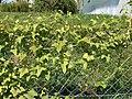 Cyclanthera brachystachya Plant.jpg