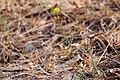 Cymopterus lemmonii - Flickr - aspidoscelis (2).jpg