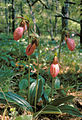 Cypripedium acaule 1.jpg