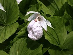 Cypripedium formosanum (1214942349).jpg