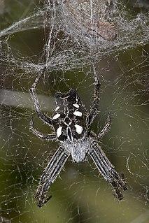 <i>Cyrtophora citricola</i> Species of spider