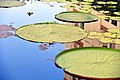 D85 7046 Victoria Waterlilies Photographed by Trisorn Triboon (137).jpg