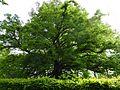 DE-BW-ND Sommerlinde Sickenhausen img9028.jpg