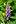 Dactylorhiza fuchsii - vööthuul-sõrmkäpp Pakri.jpg